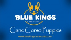 Blue Cane Corso Puppies For Sale