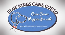 Cheap Cane Corso Puppies For Sale