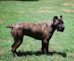 Cane Corso Italiano Puppies For Sale