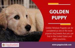Golden Puppy | puppiesclub.com