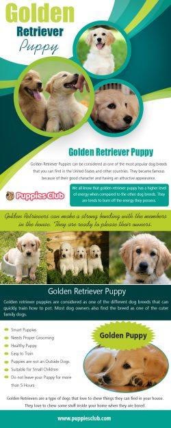 Golden Retriever Puppy | puppiesclub.com
