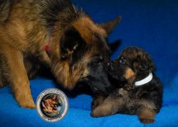 Buy German Shepherd Litters for Sale in California