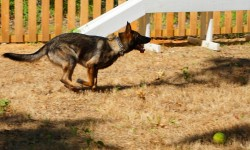 guard dog puppies for sale
